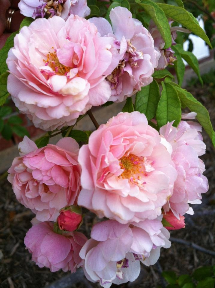 Cornelia Hybrid Musk Rose from Antique Roses.vigorous plant shade tolerant. Superb in mixed border 5x5ft