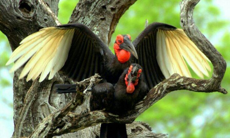 Southern Ground Hornbill       Bucorvus Leadbeateri         Bromvoel