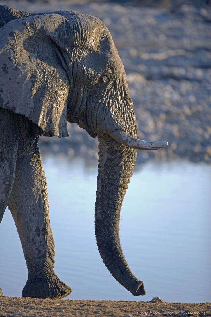 Africa, Namibia, Etosha National Park. A large male elephant (Loxodonta africana) drinks from one of the park maintained water holes near the park accommadation...