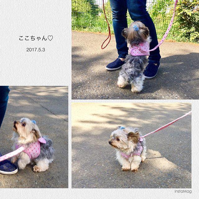 ちょこちょこと歩いた後は🐾 ママ〜抱っこしてよ〜💕 . #yorkshireterrier#ヨークシャー#ヨーキー#ヨークシャーテリア #愛犬#お散歩