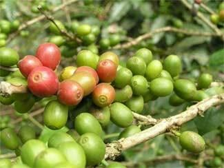 #CuriousCoffee Puntas: cerezas de #café que han madurado antes de tiempo. Dan una idea de la calidad de la cosecha
