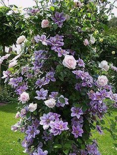 Clematis uses Rose bush to grow on. Beautiful