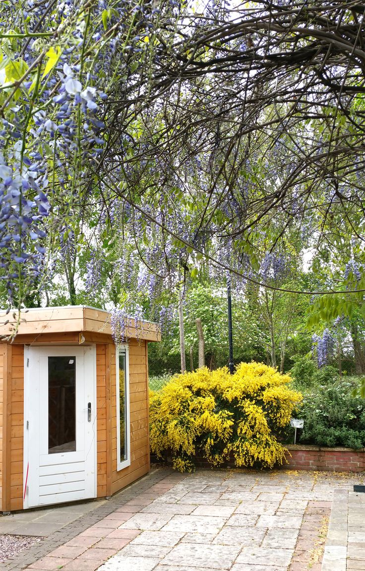 Beautiful Wisteria looks and smells amazing as it forms a canopy of late spring flowers.