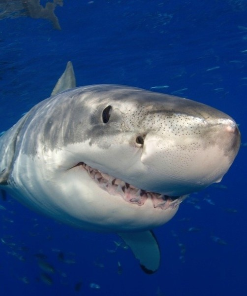 nicole the great white shark laughs in the face of 400