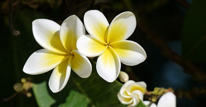 White Frangipani White Plumeria One Of My Faves Ever If Not Favorite Of All Time Plumeria Flowers Plumeria Beautiful Flowers Wallpapers