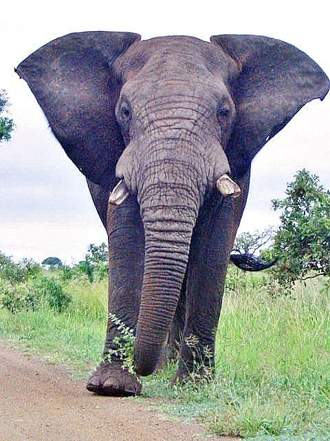 Elephant in Kruger National Park, South Africa.  Get a credit of 500$ to redeem for your next Safari