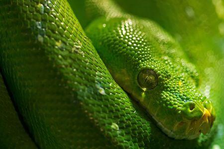 Morelia viridis Photo by Giovanni Giuliani — National Geographic Your Shot