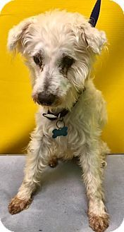 Providence, RI - Standard Schnauzer Mix. Meet Fults in AR $199, a dog for adoption. http://www.adoptapet.com/pet/18086028-providence-rhode-island-standard-schnauzer-mix