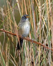 Lista de aves do Brasil – Wikipédia, a enciclopédia livre