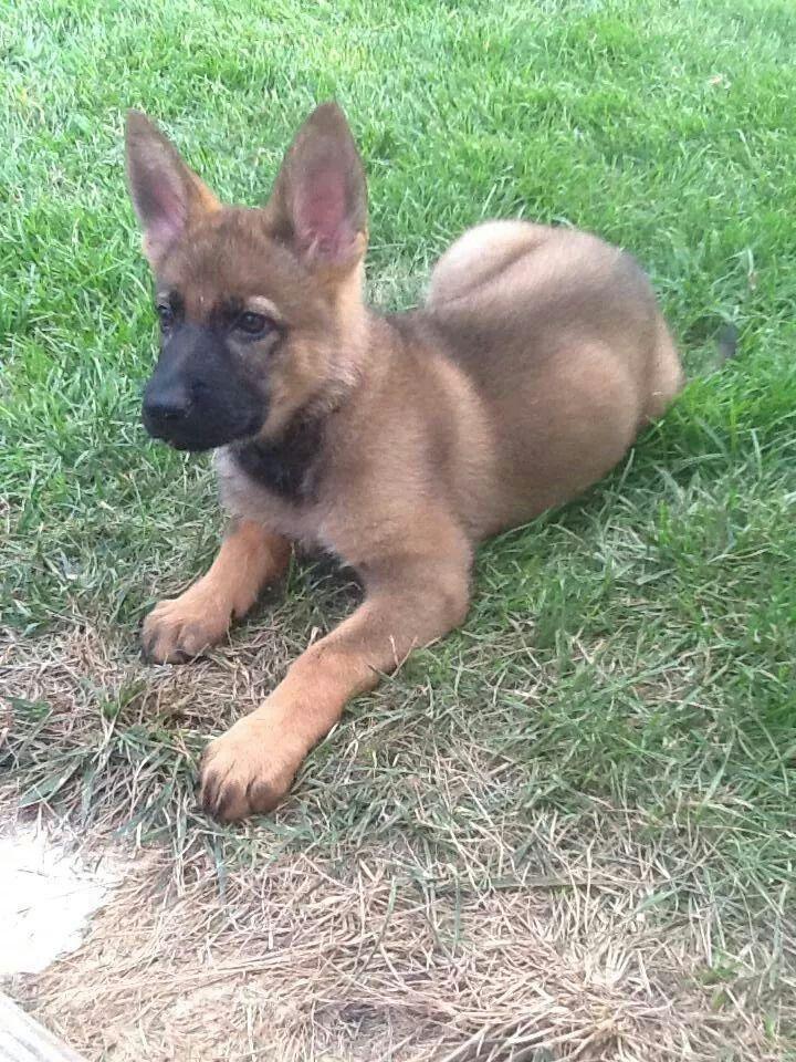 GSD Puppy-Harley