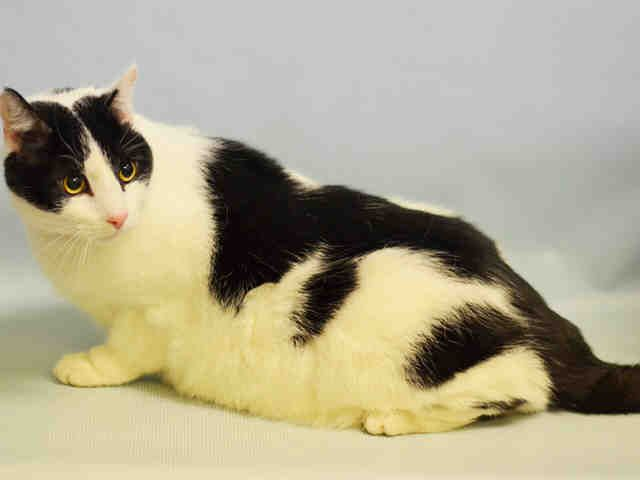 NUNU aka U U - A1095970 - - Manhattan KILLED 11/13/16***NEUTERED, 11 YR OLD, SLIGHTLY OVERWEIGHT, FRIENDLY - Click for info & Current Status: http://nyccats.urgentpodr.org/nunu-aka-u-u-a1095970/