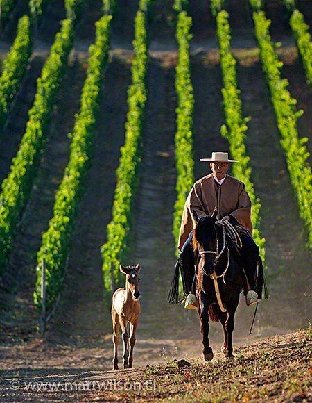 Una impresionante imagen de una viña en Casablanca, en el valle central de Chile.     Conoce la historia del Carmenere, un vino producido en Chile que es único en el mundo: