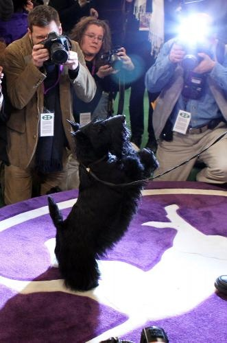 Sadie the Scottish Terrier winning the Westminster Kennel Club Dog Show 2010