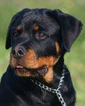 german dog names for rottweiler dog