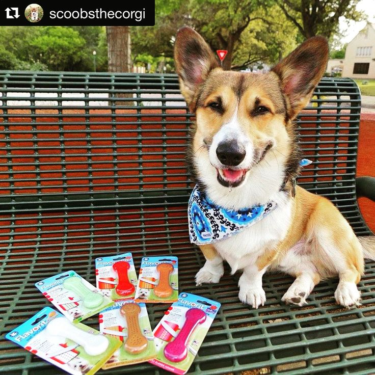 #Repost @scoobsthecorgi with @repostapp. ・・・ Flavorit chews from @petqwerks! They are chews made from nylon similar to the Nylabone and Benebone! They also have flavor cells molded into both sides that you can spread peanut butter or cheese in for more chewing fun! They come in the flavors: Chicken Bacon Berry Breath Mint Peanut Butter Sweet Potato Comment below which flavor sounds the best to you and I'll pick one lucky pup to try win some Flavorits! ❤️ #nylabone #benebone