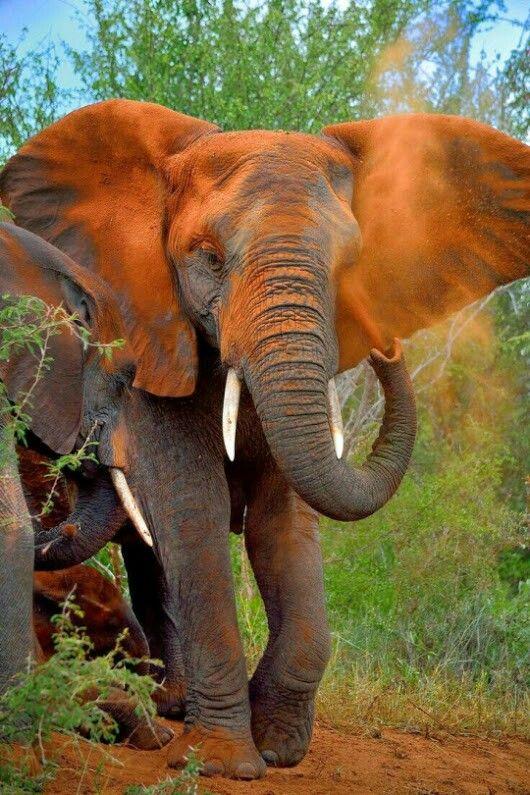 Bello elefante africano