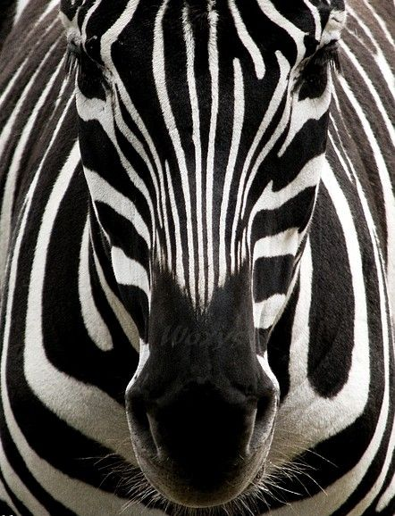Is not the God of the universe present in this beautiful animal...every stripe and marking? Is not our Creator and Father brilliant and evident in His Creation? Does it not speak to His glory and power and might? He, Himself, is beauty.