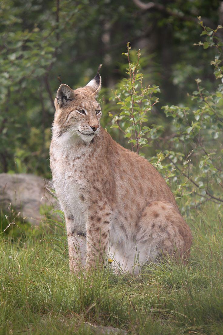 A beautiful Lynx in Langedrag