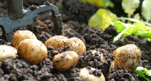 The humble potato is a staple on many dinner tables around New Zealand. Roasted, boiled, mashed or in a salad – no matter how you serve yours, they will always taste better dug out of your own garden. Plant Tui Certified Seed Potatoes in garden beds or containers, and harvest a bumper crop of homegrown potatoes this season.