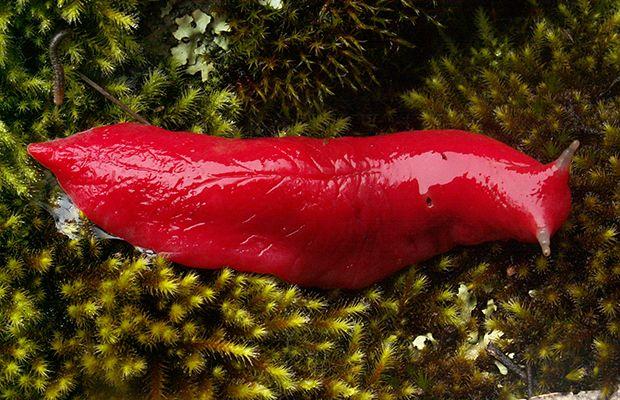 Kaputar's huge but rare neon slugs.- Kaputar pink slugs ...