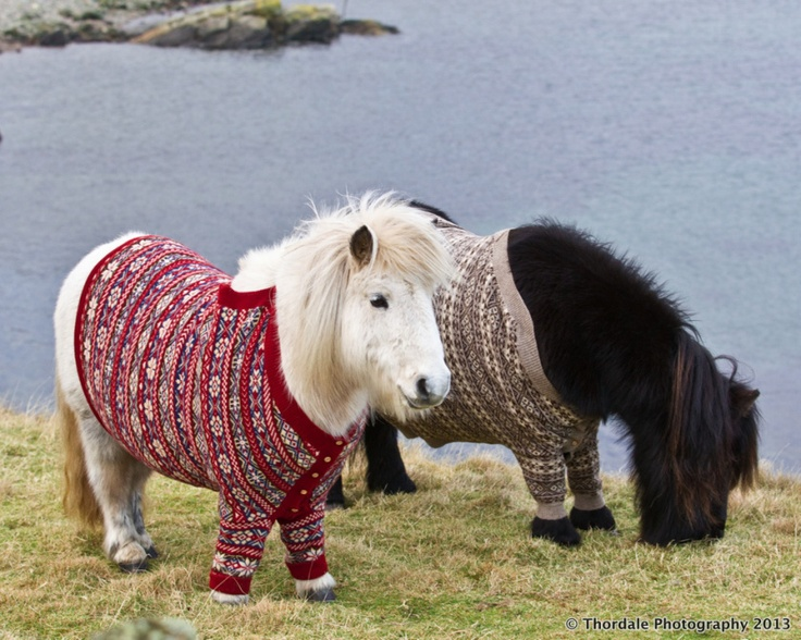 Miniature horses wearing sweaters, makes perfect sense