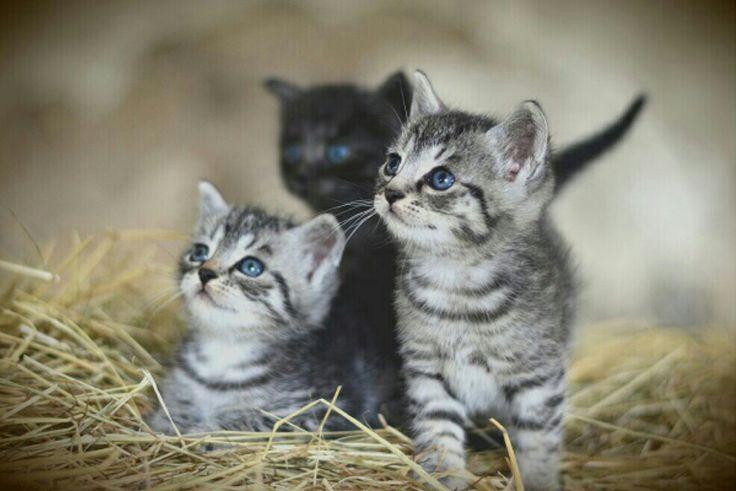 Pin By Rada Rada On Volim Machke I Cats American Shorthair Cat Cat Breeds Grey Kitten