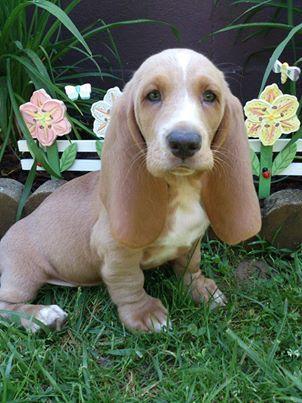 Basset puppy=irresistible