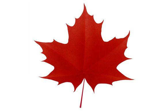 Realistic red maple leaf @creativework247