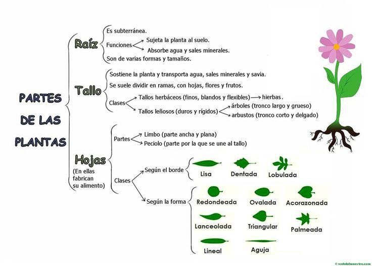 Mapa conceptual de las partes de una planta.