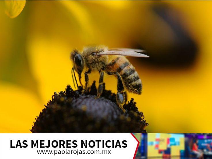 LAS MEJORES NOTICIAS. Las abejas utilizan el polen y el néctar de las flores, para alimentarse y producir miel. Al momento de alimentarse y recolectar polen de los estambres de las plantas, transfieren semillas para la supervivencia de la flora, por lo que son más importantes de lo que podríamos pensar. Le invitamos a consultar nuestro sitio en internet www.paolarojas.com.mx, para conocer más sobre este súper insecto volador. #AlAireConPaola