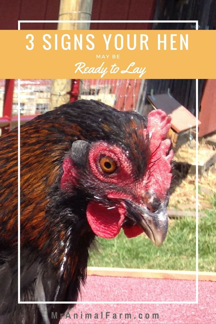 5519 best chickens images on pinterest chicken coops raising