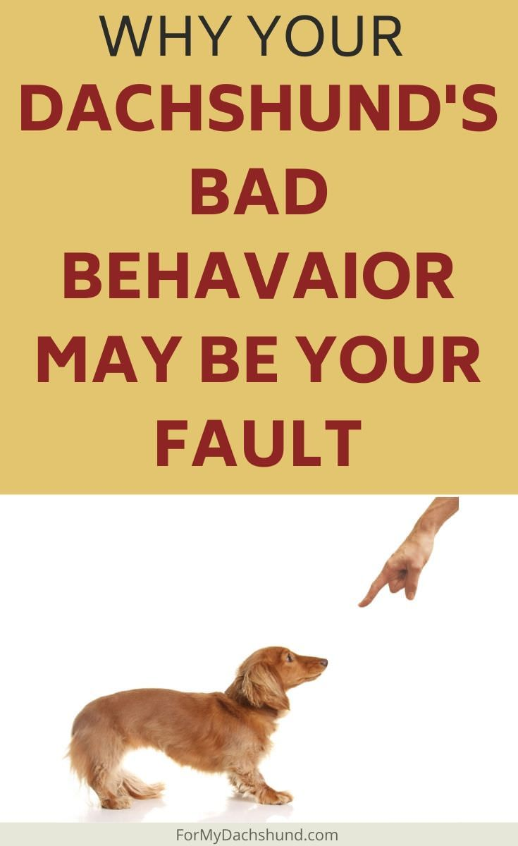 When A Dachshund Misbehaves It S Easy To Blame Them People Say