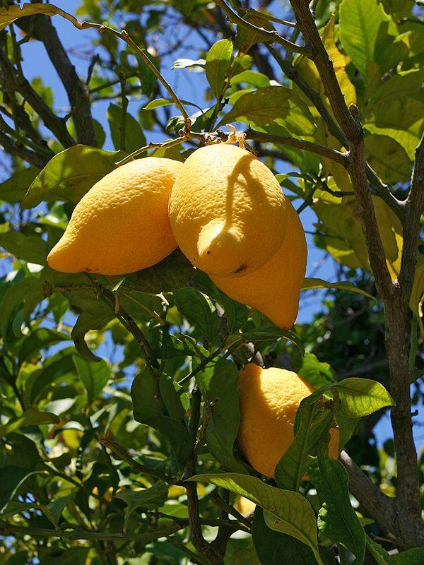 Lemons in the garden of our Apartement near Gialova.  #gialova #pylos #lemons #lemontree #peloponnes #messenia #greece
