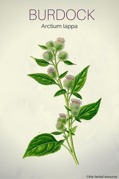 Burdock Root Herb (Arctium lappa)