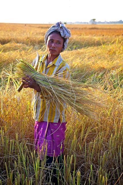 harvesting rice, Assam, photo by Michael Foley
