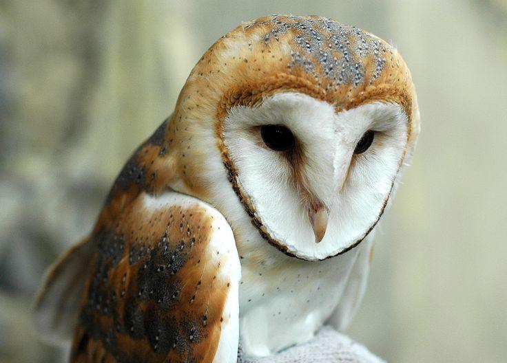 Apácatorna - Nagy meglepetés volt az egyik Somló környéki kis faluban a gyöngybagoly fehérmellű (Tyto alba guttata) alfajának megjelenése. Hazánkban ritkas