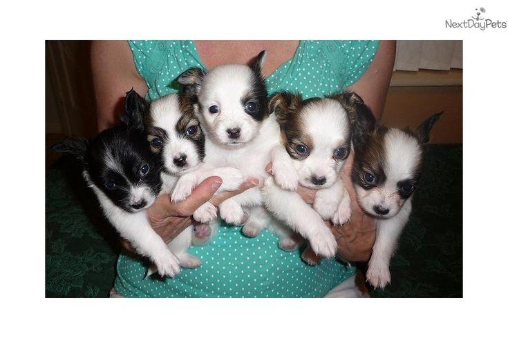 Meet sunshinepaps.com a cute Papillon puppy for sale for $950. Papillon Puppies!! 407-463-4878