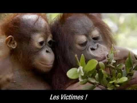 L'orang-outan, victime durable de l'huile de palme - rusty james news