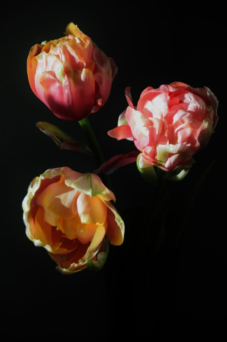 French tulips in my home