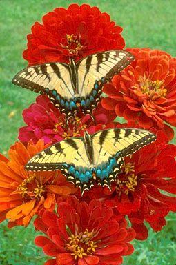 two tiger swallowtail butterflies on zinnia flowers
