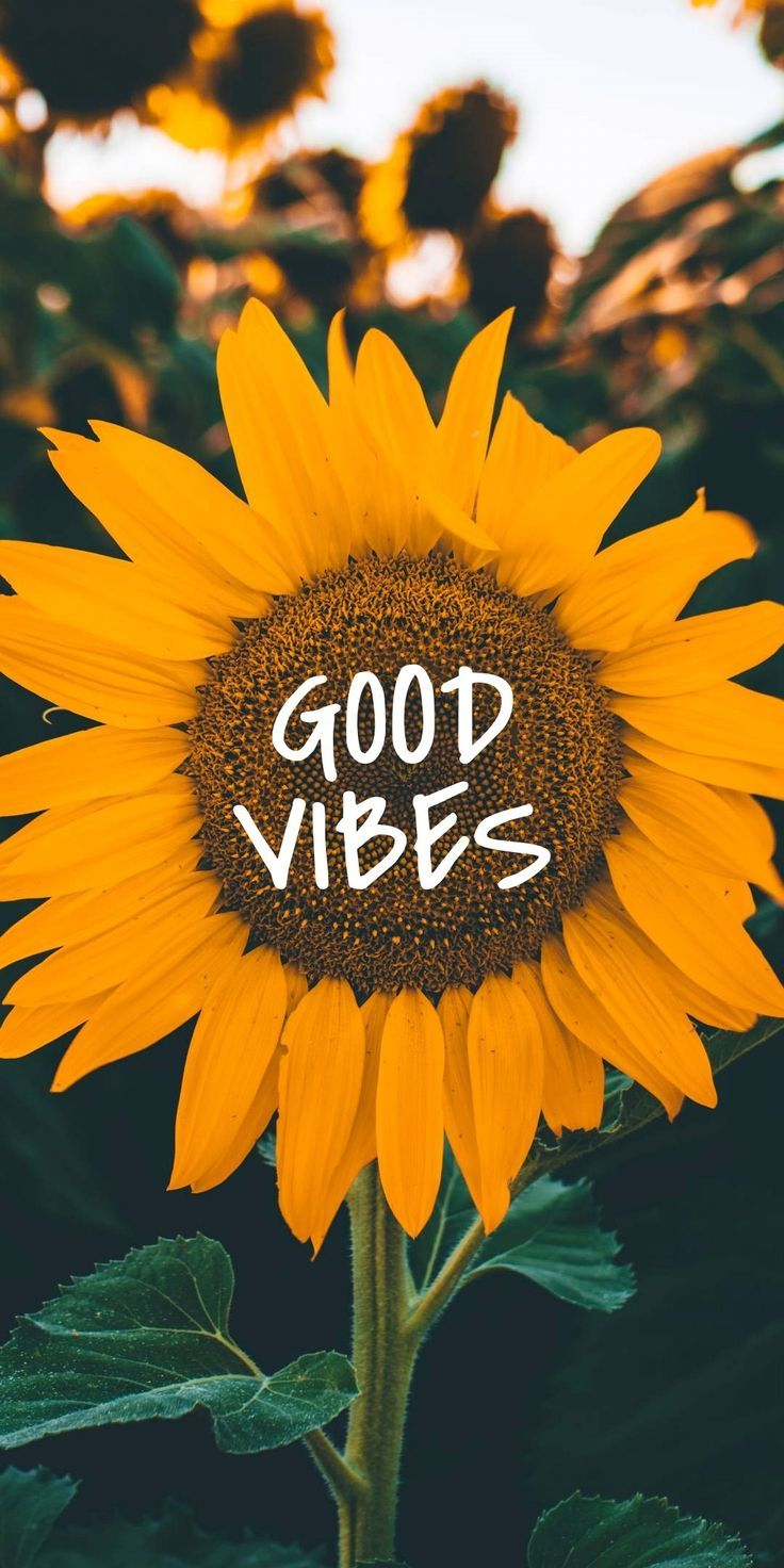 Sunflower. GOOD VIBES.  #Good #Sunflower #Vibes