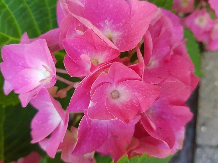pink Hortensie
