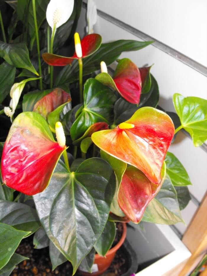 Flamingo Flower Plant Anthurium Scherzerianum In 2020 Flamingo Flower Anthurium Plant Anthurium