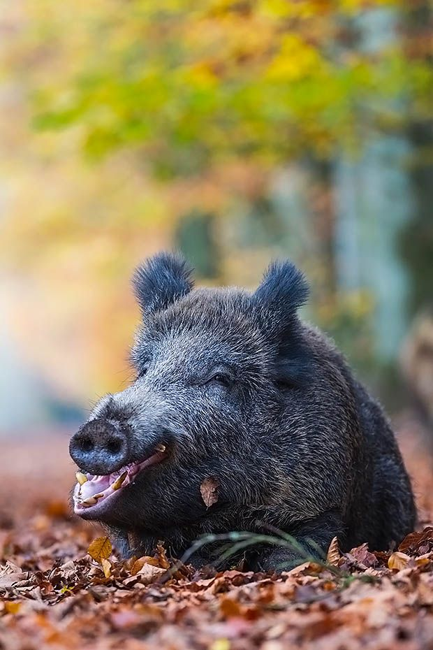 Wildschweinbache liegt gaehnend im Buchenlaub - (Schwarzwild), Sus scrofa, Wild Boar sow rests yawning in beech leaves - (European Boar - Feral Pig)