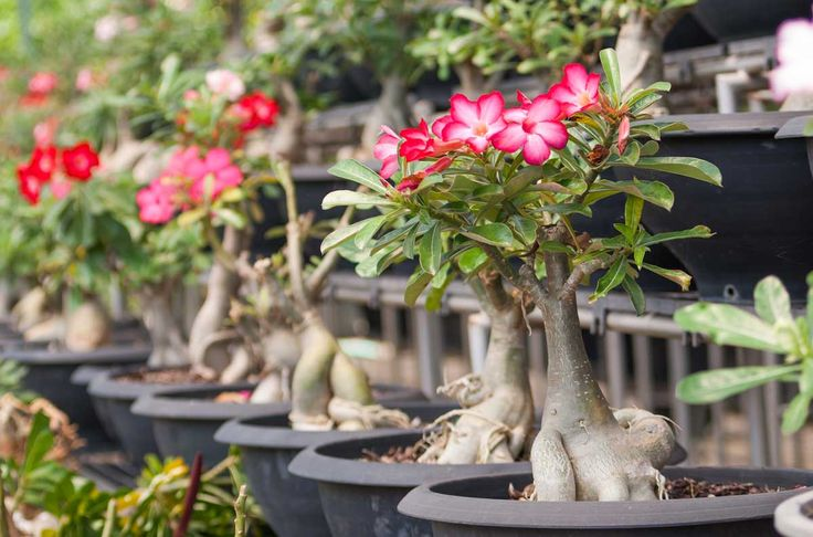 Desert Rose: How To Grow And Care For The Adenium Obesum