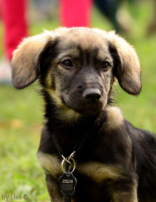 German Shepherd-Dachshund mix! | Dogs | Pinterest ...