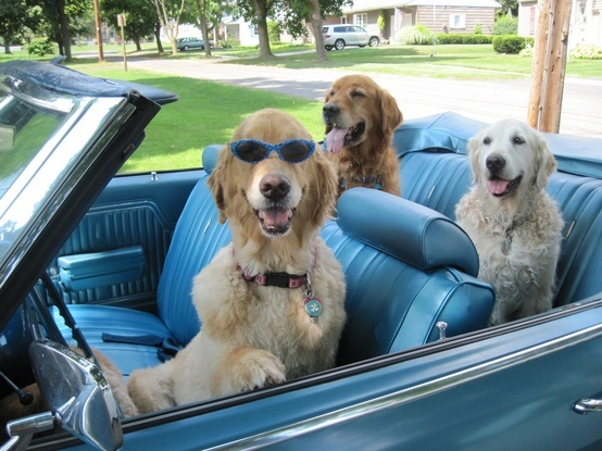 Image result for Dogs cruisin in a convertible gifs