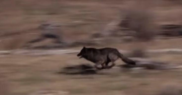 De släpper ut 14 vargar i parken – det fotografen fångar på bild är ett mirakel