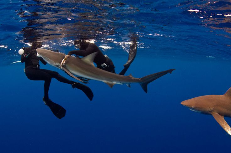 What It's Like To Rescue A Dusky Shark @acottonphoto
