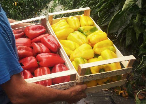 COSA e COME COLTIVARE? - Raccolte - Google+ Il PEPERONE , come le altre solanaceae, necessita di terreni dalle buone potenzialità agronomiche. Per coltivare peperoni con esiti positivi, quindi, bisogna avere a disposizione suoli dalle adeguate caratteristiche di fertilità e struttura. #BioAksxter consente di incrementare al massimo le potenzialità del substrato: http://www.bioaksxter.com/it/coltivazioni-redditizie/orticoltura/coltivare-peperoni_7124_ids/